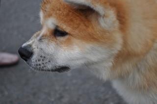 秋田犬1 027.JPG