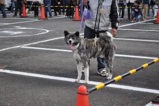 秋田犬1 033.JPG