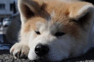 秋田犬 032.JPG