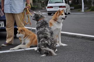 秋田犬1 019.JPG